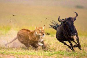 Serengeti Migration Safari Tanzania Zara Tours 1