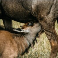 calving1