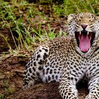 Leopards of Serengeti
